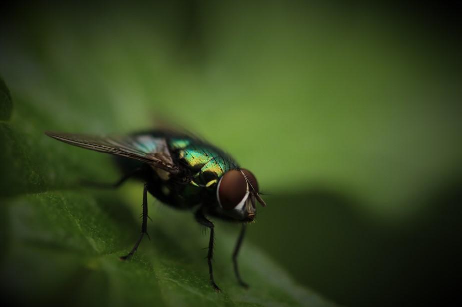 Consejos para evitar la mosca negra  ¿Qué hacer si te pica la mosca negra?